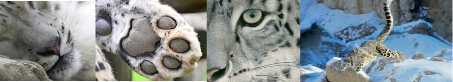Snow Leopard cubs - Snow leopards show several adaptations for living in a  cold, mountainous